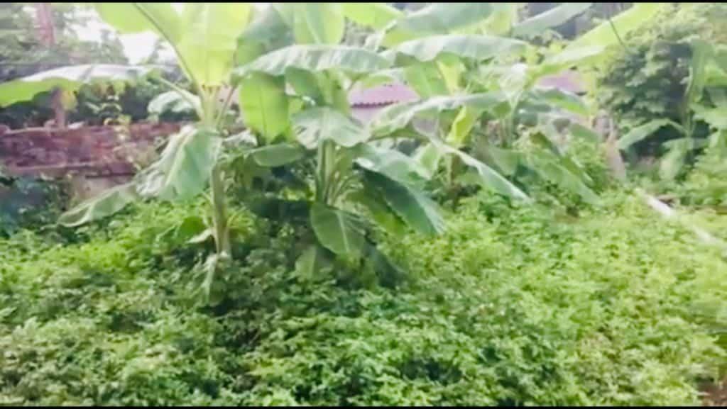 Biden Pilosa in Lien's garden