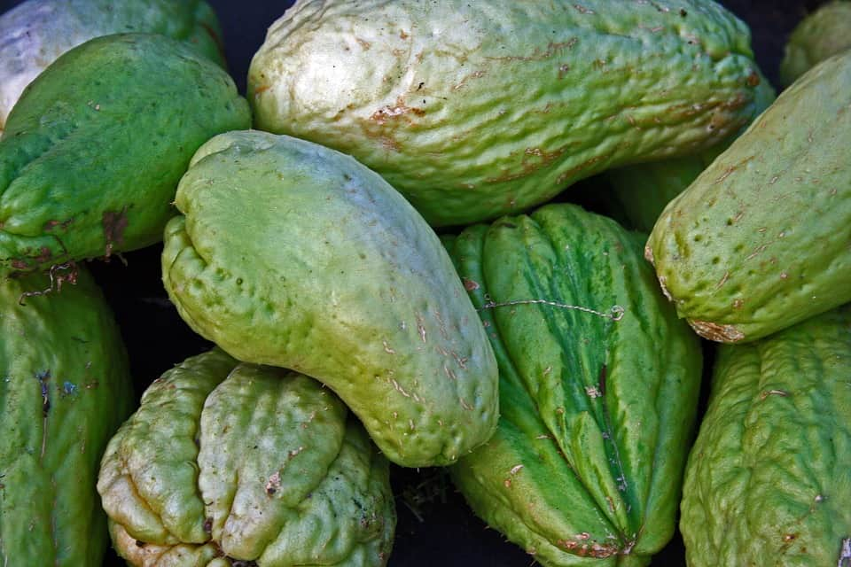 strong chayote plants